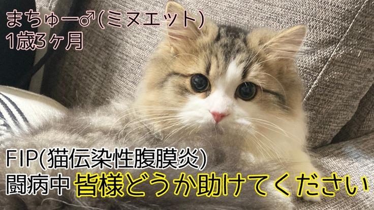 余命1ヶ月と宣告された愛猫のまちゅーを助けてください