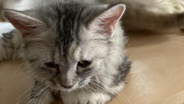 猫伝染性腹膜炎(FIP)を発症した愛猫あずきを助けてください。
