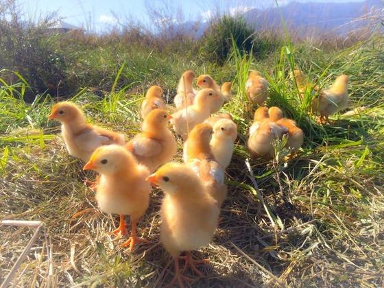 鶏が自由に地面を耕してくれるチキントラクターを普及させたい!