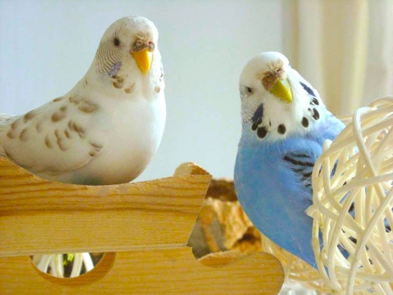 愛鳥家による無料預かり組織BIRDSITTERSの設立資金を集めたい!!