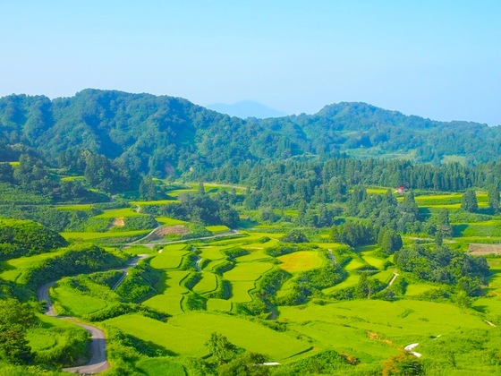 人口3,400人を下回る新潟県松代を早成桐でもう一度盛り上げたい!