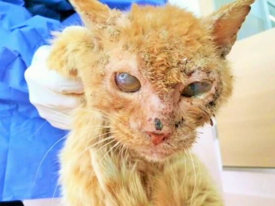 失明した保護ネコを助けるため、治療・手術を受けさせたい!