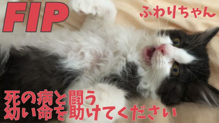 FIPという死の病と闘う子猫ふわりちゃんを助けてください