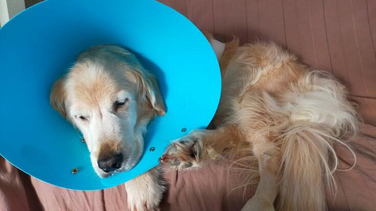 一刻を争います!肝臓癌で苦しむ愛犬「ルネ」にご支援をお願いします!