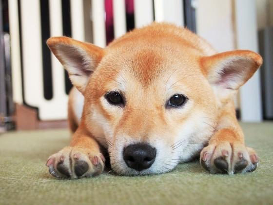 滋賀県に敬遠されがちな日本犬のためのドッグランを作ります!