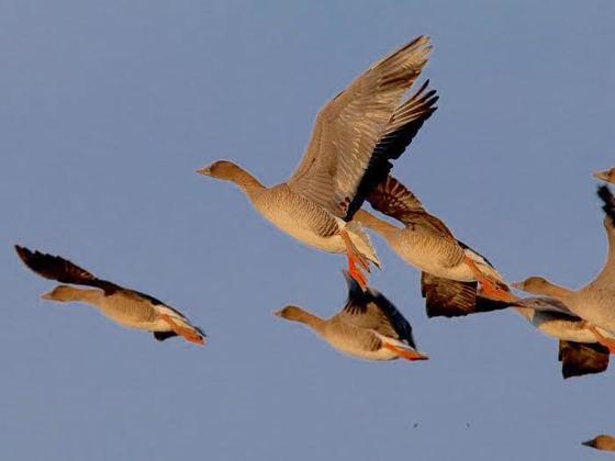 日本に飛来する雁の調査開始から30年!コクガンの繁殖地解明へ!