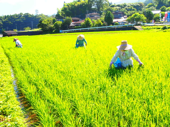 宮崎県五ヶ瀬町の美味しいお米「まけしらず」を全国に届けたい!