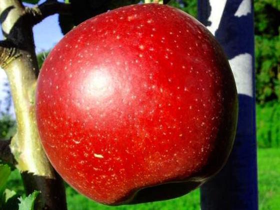 今がシーズン!採りたての紅玉りんごで美味しいお菓子を作りたい