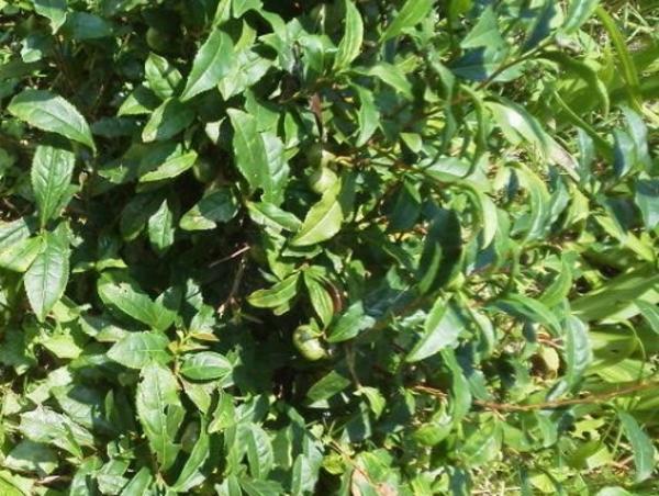 発酵阿波晩茶の茶摘み前の木