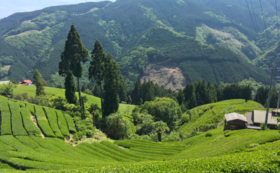 【ここでしかできない体験】茶摘み体験<農業体験コース>