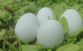 ひよっこガーデン直送 アローカナの卵セット