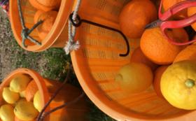 【オススメ】柑橘収穫体験(1名分)