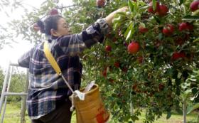 よしこたんと一緒にりんご収穫&アップルパイ堪能(ペア)
