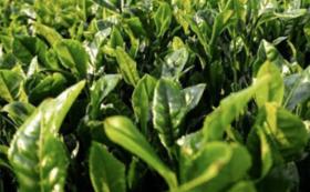 大山町産の有機栽培茶詰め合わせコース