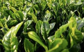 全国の有機栽培茶飲み比べセット
