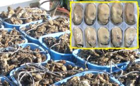 <ご来店が難しい方向け>カキ養殖発祥の地の新鮮牡蠣をお届け