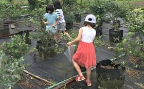 【福井県外の方限定】ブルーベリー100グラム×4+鉢植えにお名前記載