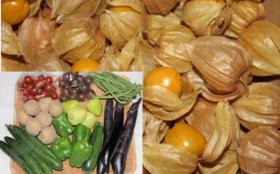【佐藤夫婦が作った野菜を食べて応援】自然栽培の食用ほおずき400g+自然栽培の夏野菜セット(Lサイズ)+お礼状