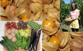 【佐藤夫婦が作った野菜を食べて応援】食用ほおずき収穫体験