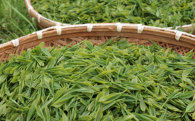 【定期便コース】如春園のお茶を1年間お取り寄せ楽しもう!