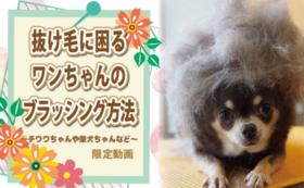 【B】抜け毛に困るワンちゃんのブラッシング方法(チワワちゃんや柴犬ちゃんなど)限定動画