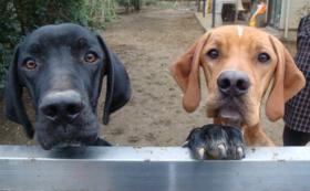 【応援】使い捨てにされた鳥猟犬に家族の温もりを!