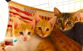 【かぎしっぽサポーター】猫1匹分の避妊・去勢手術代になります
