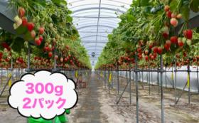 真冬が一番おいしい!完熟イチゴ 300g×2パック