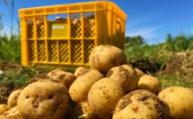 【辻本と収穫体験】まるさんファームで芋掘り体験