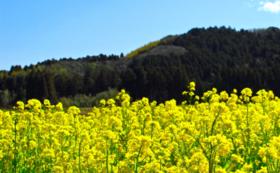 あなたの支援によって植えられた菜の花のお写真をお送りします!