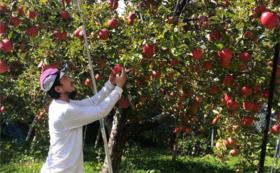 """あなたの樹から完熟リンゴを収穫or毎年届く!""""クラウドファンディング限定""""リンゴの木オーナー3年間"""