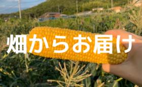 畑からお届けコース・生で食べれるトウモロコシ