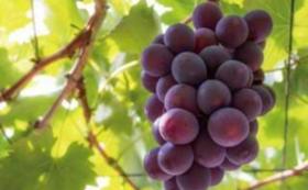 岡山県産の季節のフルーツ詰め合わせAセット