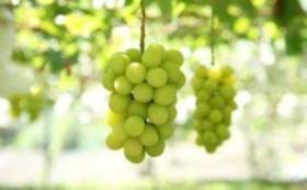 岡山県産の季節のフルーツ詰め合わせCセット
