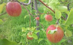 超早生林檎 恋空&しおりの詩 2㎏(約6個) & ドライアップル1袋