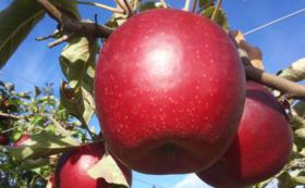 紅玉 加工用 5㎏(約14~18個) & ドライアップル1袋