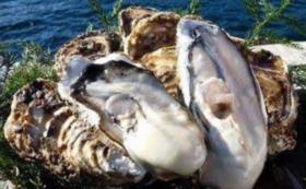 【雄勝の特選魚介を自宅で味わおう!】雄勝産殻付き真牡蠣12枚