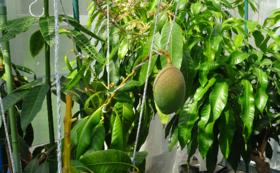 【限定5人】マンゴーを食べる権利のプレゼント