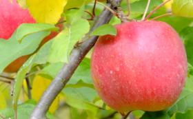 お礼の手紙、農園事務所への支援者名の掲載、まごころリンゴ5kg