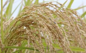 2020年度新米稲刈り体験とお米
