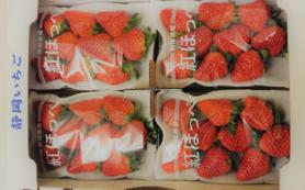 静岡県掛川市産いちご紅ほっぺ4パック