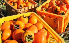 園児からのお礼の手紙、管理栄養士の柿レシピ、柿10個
