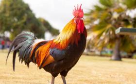 鶏の救世主