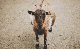 ヤギの救世主