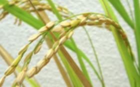 【リターン不要の方向け】こどもたちとお米を作りたい!
