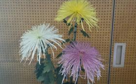【南陽市内の方向け】菊の貸し出しコース(2鉢)