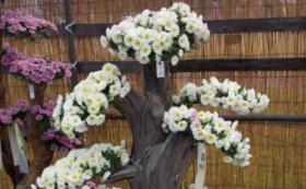 【南陽市内の方向け】菊の貸し出しコース(10鉢)