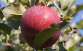 お礼の手紙、農園事務所への支援者名の掲載、 まごころリンゴ15kgとりんごジュース三本