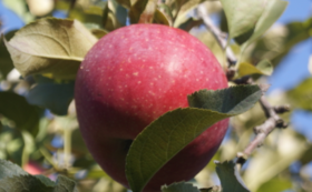 お礼の手紙、農園事務所への支援者名の掲載、 まごころリンゴ20kgとりんごジュース六本