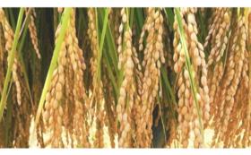 阿山農産 特別栽培米コシヒカリ「鞆田のつづみ」1kg